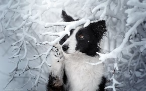 Picture winter, snow, branches, dog, The border collie, Ekaterina Kikot