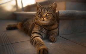 Picture look, paws, Cat, Alexander Drobkov-Light