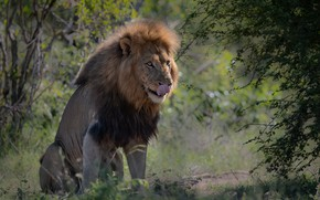 Picture language, face, branches, Leo, mane, the king of beasts, wild cat