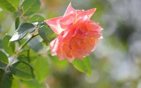 Picture flower, rose, bokeh, orange rose