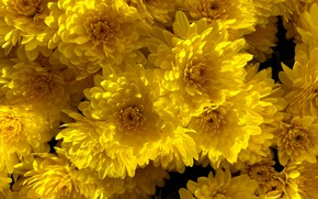 Picture light, flowers, bright, yellow, chrysanthemum, a lot