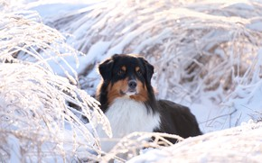 Picture winter, snow, branches, nature, animal, dog, dog, Aussie