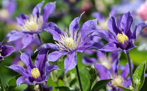 Picture purple, clematis, clematis