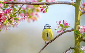 Picture flowers, tit, background, bird, bird, flowering, pink, branches, spring