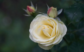 Picture rose, white, buds