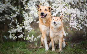 Picture dogs, grass, look, face, flowers, branches, nature, pose, glade, two, dog, spring, garden, pair, red, …