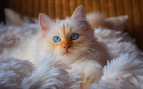 Picture cat, white, cat, look, comfort, kitty, portrait, pile, fluffy, red, bed, lies, plaid, kitty, blue …