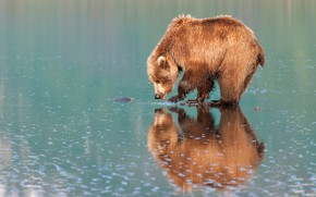 Picture bear, reflection, shore, brown, pond, water, mirror, bear