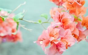 Picture flowers, nature, branch, Buganvilia, Pink-orange