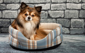 Picture eyes, wall, dog, Chihuahua