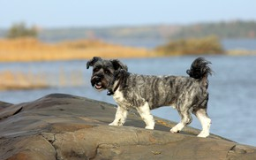 Picture look, stones, shore, dog, walk, dog, pond, curly, little dogs