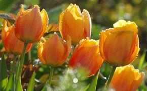 Picture drops, light, tulips, orange, bokeh