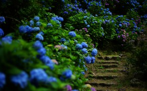 Picture greens, summer, leaves, flowers, the dark background, garden, ladder, stage, flowering, the bushes, hydrangea