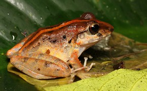 Picture drops, macro, sheet, background, leaf, frog, reptile, spotted