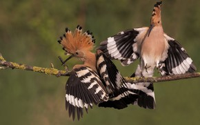 Picture birds, background, bird, two, branch, pair, two, hoopoe, competitors, hoopoes