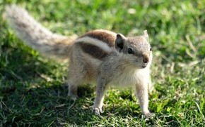 Picture grass, glade, animal, Chipmunk, walk, bokeh