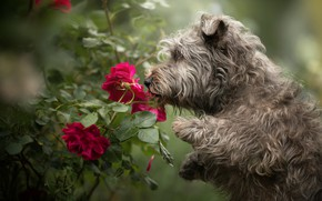 Picture flowers, roses, dog, shaggy