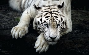Picture white, look, tiger, tiger, Siberian