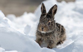 Picture snow, hare, Bunny, hare