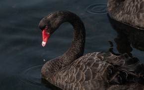Picture water, bird, Swan, black Swan