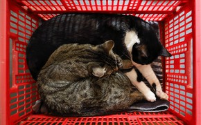 Picture cat, cat, cats, red, pose, comfort, grey, stay, basket, together, black, two, sleep, box, basket, …