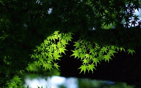 Picture leaves, background, green leaves