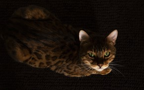 Picture cat, cat, look, face, the dark background, lies, Mat, view, Bengal