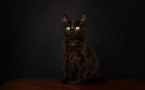 Picture cat, look, pose, the dark background, kitty, black, muzzle, sitting, Studio