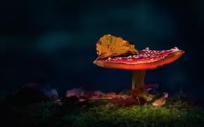 Picture autumn, the dark background, glade, mushroom, leaf, mushroom