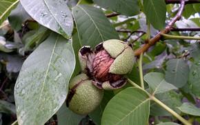 Picture walnut, shell, September, walnut