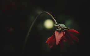 Picture flower, macro, red, the dark background, frog, petals, stem, sitting, green, bokeh, on the flower