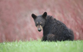 Picture look, face, background, bear, bear, sitting, baribal