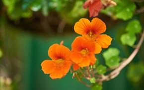 Picture flowers, stem, orange, green background, bokeh, nasturtium