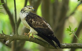 Picture bird, branch, Oriental honey Buzzard, crested honey Buzzard