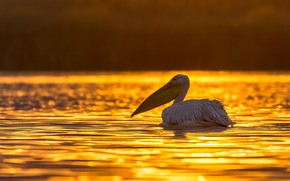 Picture water, light, sunset, glare, bird, yellow background, pond, swimming, Pelican