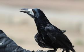 Picture background, bird, rook