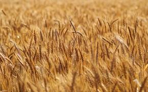 Picture field, rye, ears, cereals, rye field