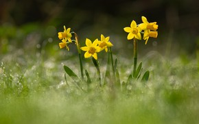 Picture flowers, glade, spring, yellow, daffodils