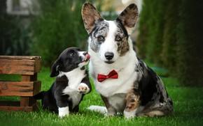 Picture dogs, grass, look, lawn, puppy, box, face, bow tie, Ekaterina Kikot, Вельш-корги-кардиган