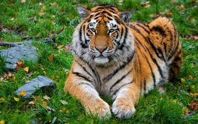 Picture autumn, grass, look, leaves, tiger, stones, lies