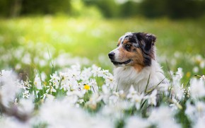 Picture face, flowers, glade, portrait, dog, spring, daffodils, Aussie