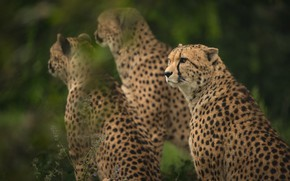 Picture greens, look, nature, background, Cheetah, three, wild cats, trio, bokeh, cheetahs