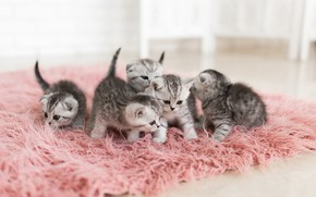 Picture kittens, fur, grey, brood