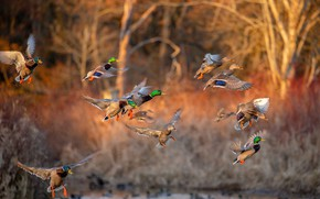 Picture flight, landing, duck, bokeh, birds
