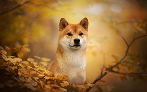 Picture autumn, look, face, branches, dog, bokeh, Shiba inu