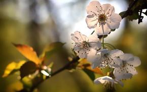 Picture leaves, light, flowers, branch, spring, white, Apple, flowering, bokeh, in bloom