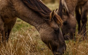 Picture grass, face, two, horses, horse, pair, pony, brown, two horses, grazing
