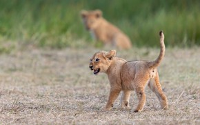 Picture nature, baby, walk, the cubs, lion, lion