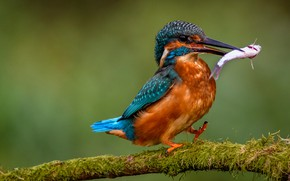 Picture pose, bird, moss, fish, branch, green background, mining, Kingfisher, meal, business, bright opinie