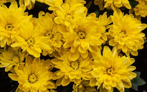 Picture flowers, yellow, garden, chrysanthemum, a lot